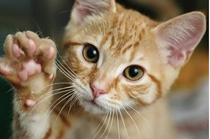 A declawed cat.
