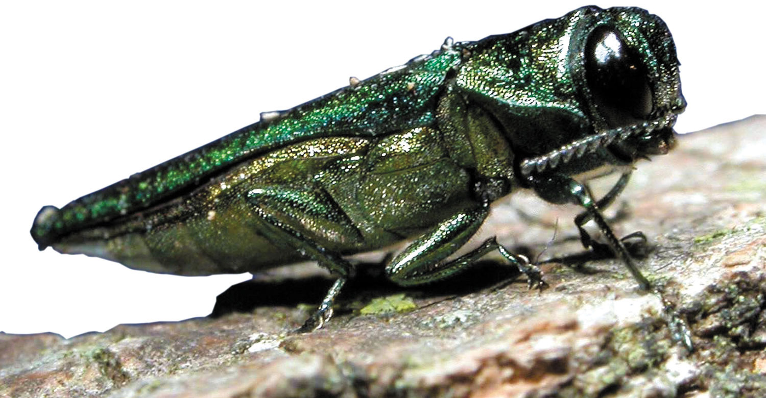 The emerald ash borer, currently decimating ash trees in forests in Erie, Niagara and Cattaraugus counties here, has caused more than a billion dollars in damage nationally since it was first discovered in 2002. Thank our friends in China, and the near total lack of regulation over what they import into our country.