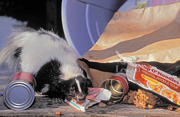 A skunk enjoys a meal from a garbage can. Skunks are experiencing a population explosion here in Niagara Falls.