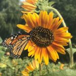 Sunflowers of Sanborn to Open August 1st; Announces Food Truck Lineups for August & September